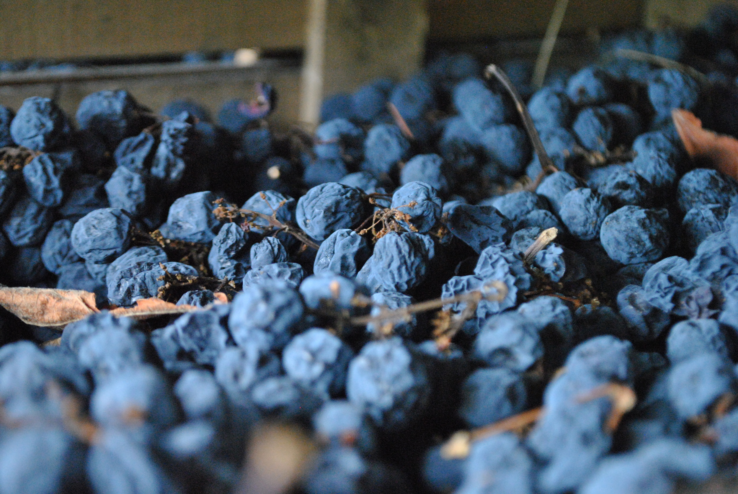 Drying Valpolicella grapes - photo courtesy of Claudio Oliboni
