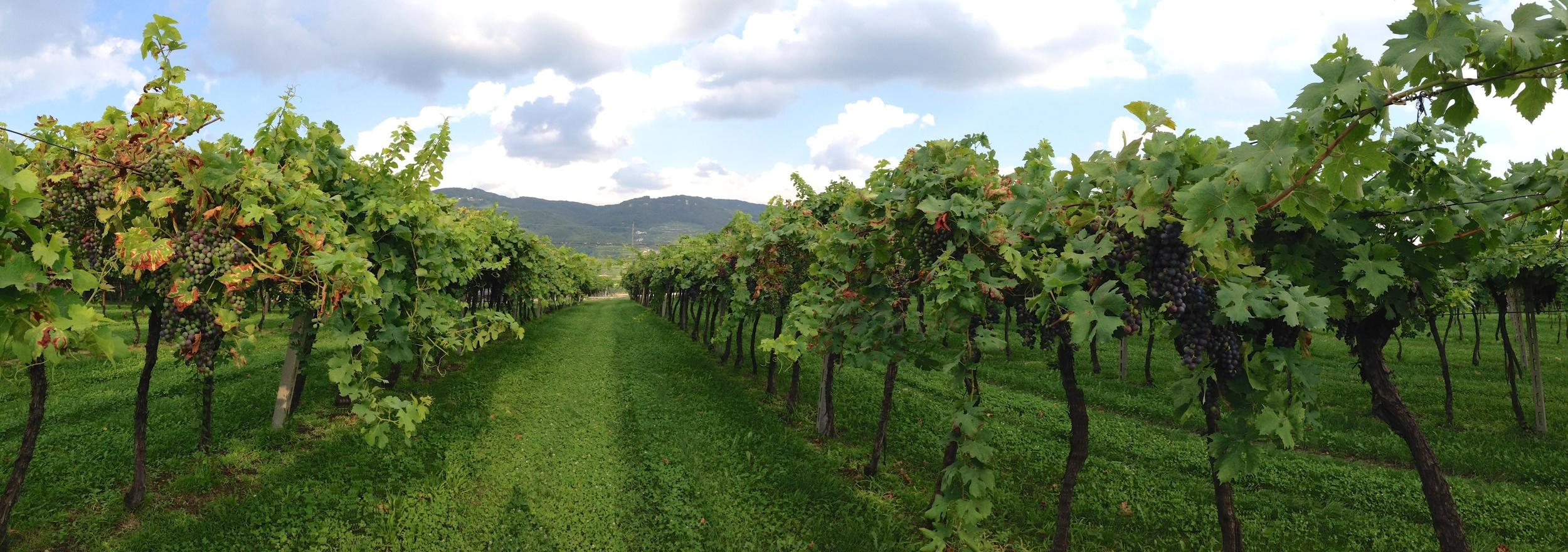 Preparing for the harvest 2014: an old vineyard in Jago cru, near  Negrar , Valpolicella