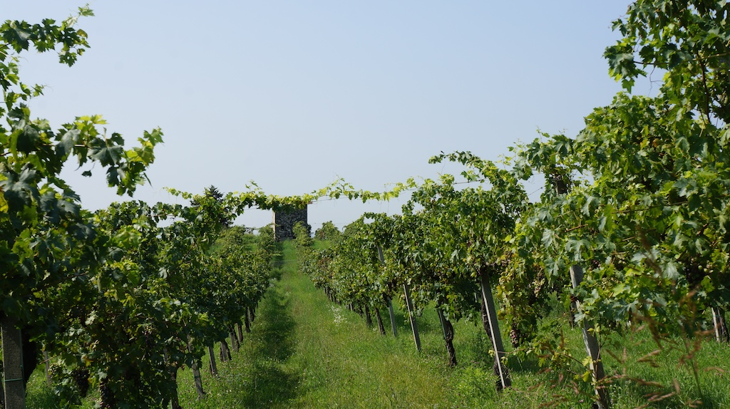Zanoni's vineyards, near Quinzano