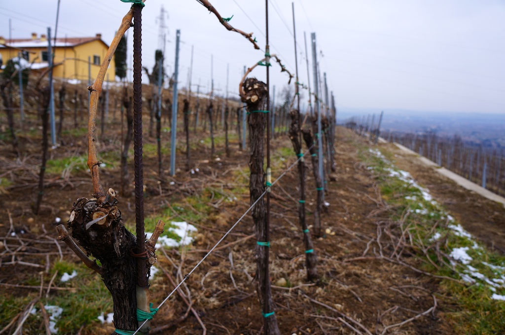 Young vines on Monte Sant'Urbano Cru
