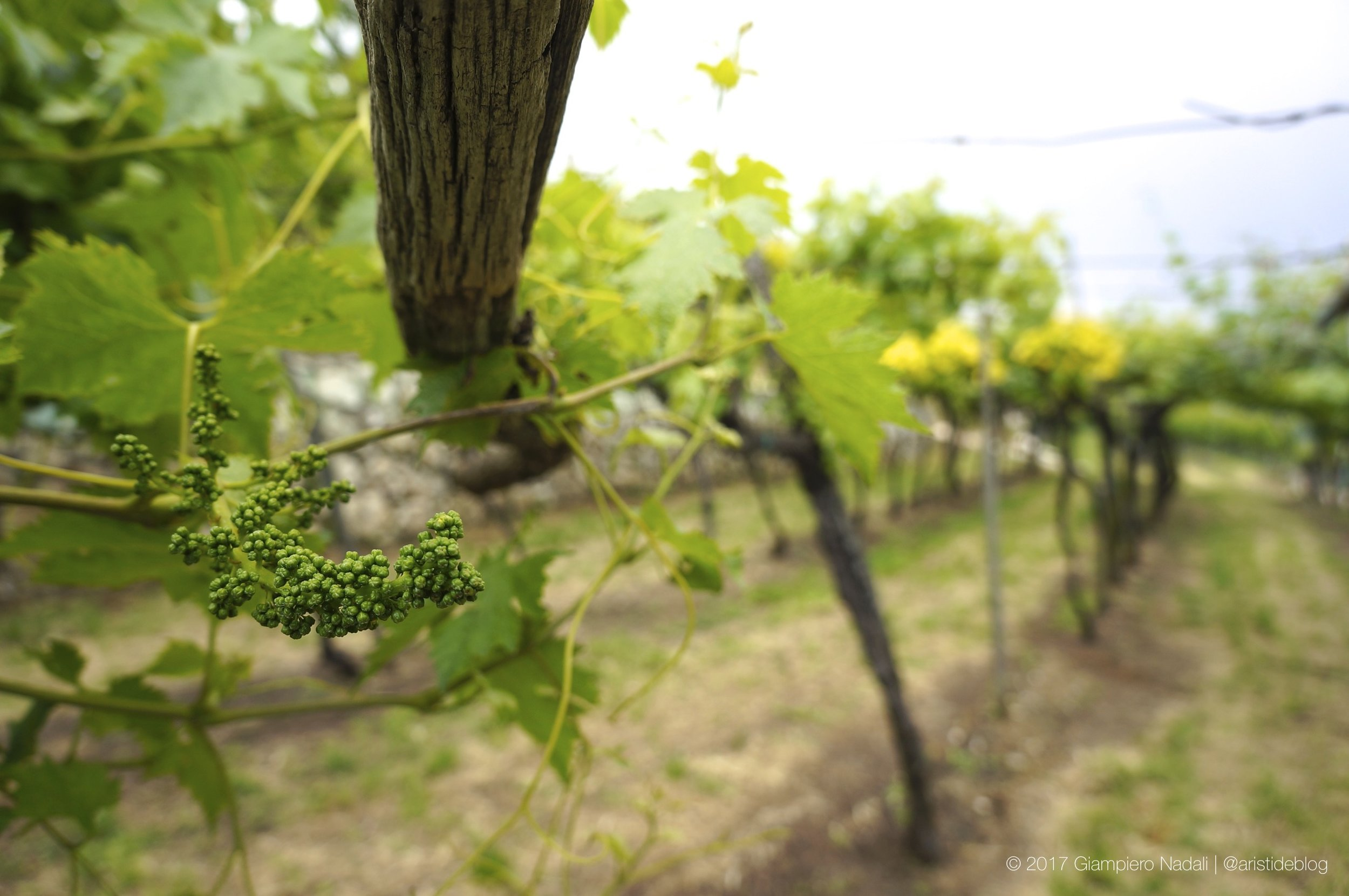 Old vines and new bunches in valpolicella