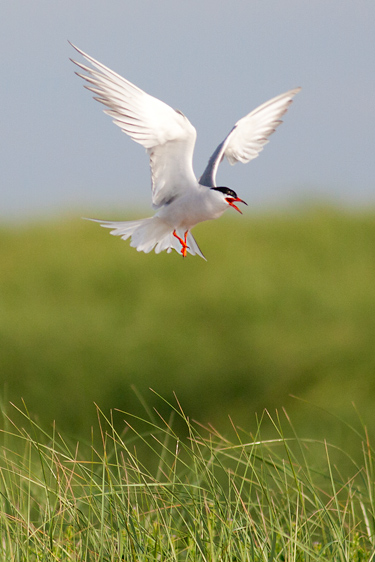An Atlantic Tern spreads its wings and sounds a warning call to nearby birds.