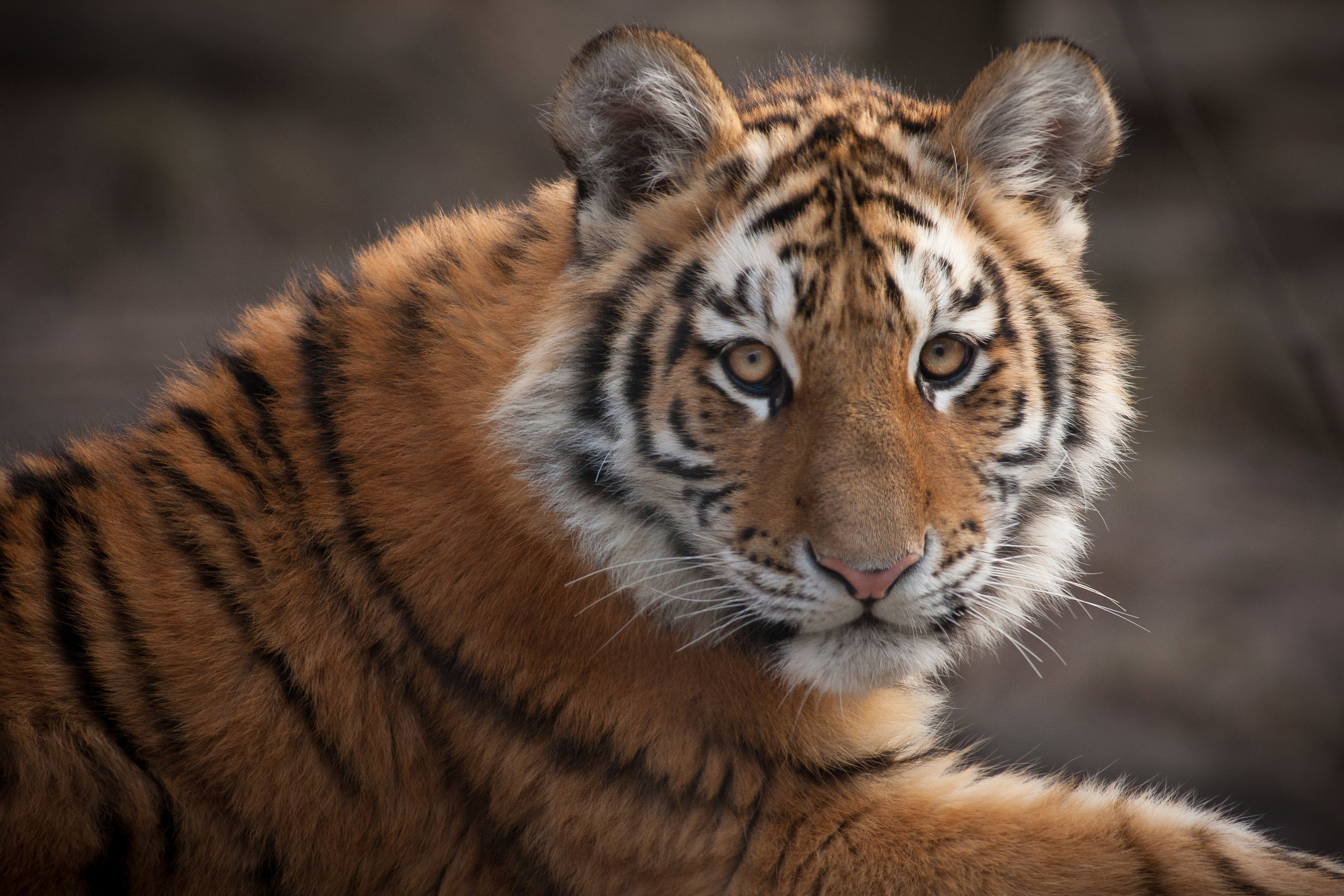tiger-portrait.jpg