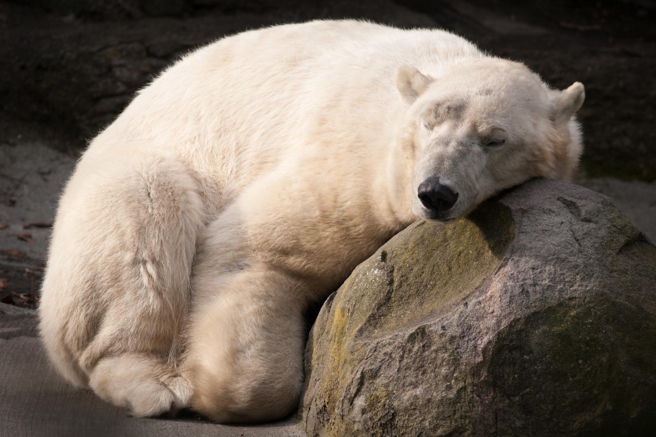 polar_bear_sleeping.jpg