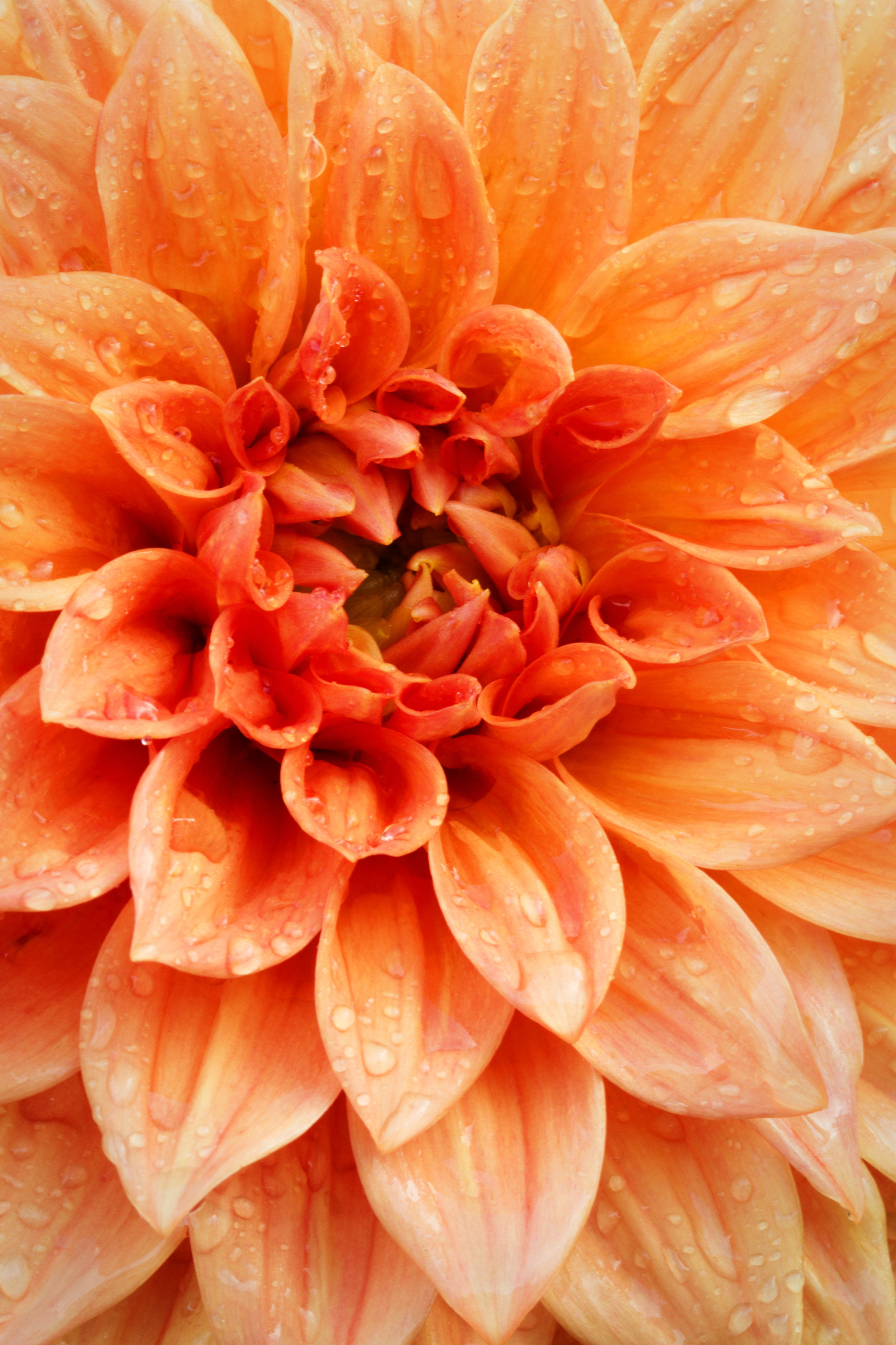 Rain drops collect on the delicate petals of a Dahlia flower.