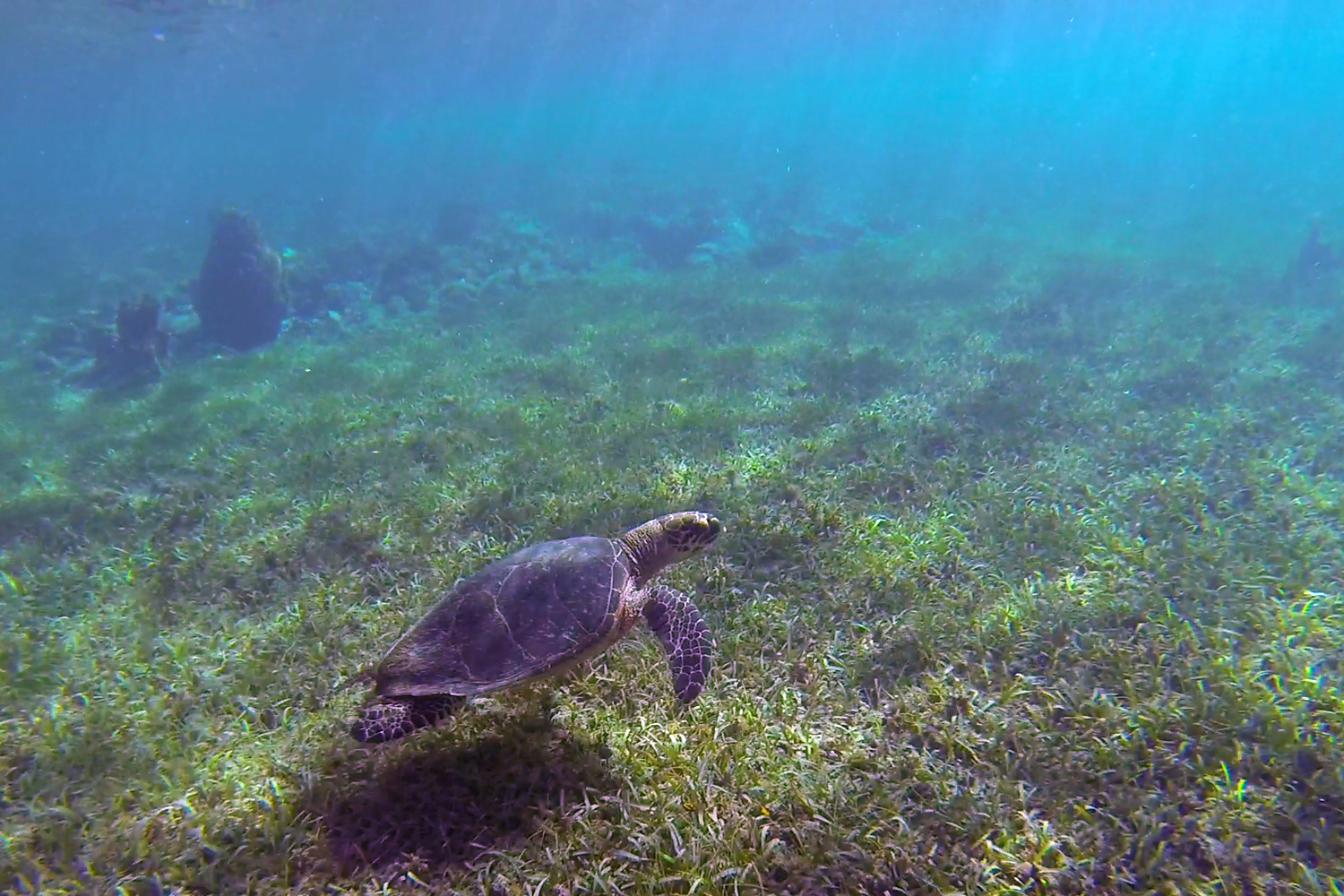 The Green Sea Turtle can be found feeding in grassy areas on the sea.