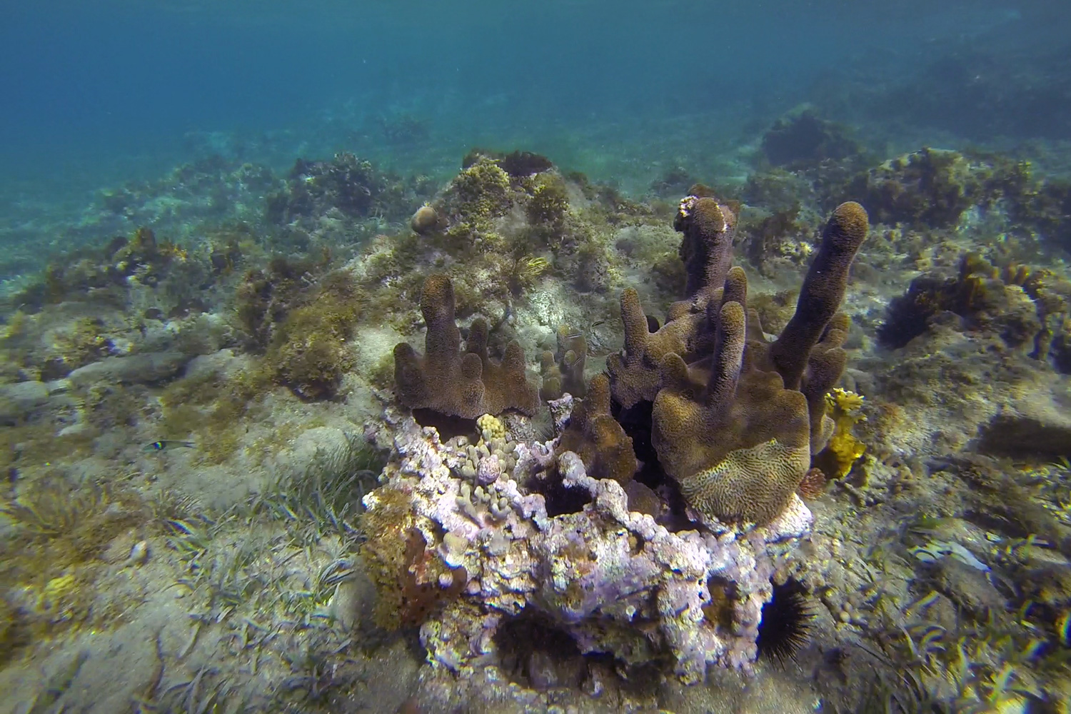 This is called Club Finger Coral, known for its blunt, swollen tips.
