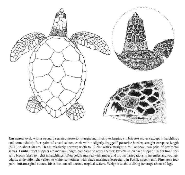 Hawskbill-Turtle.jpg