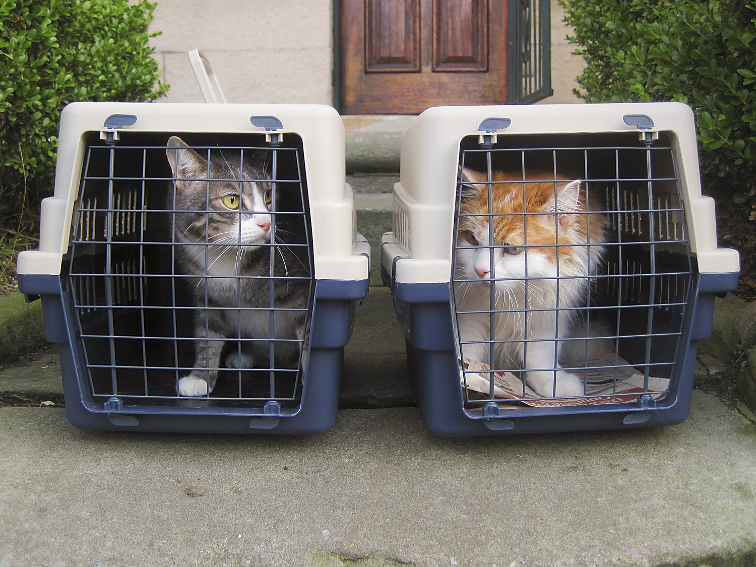 Peanut (left) and Rupert (right) waiting for the limo