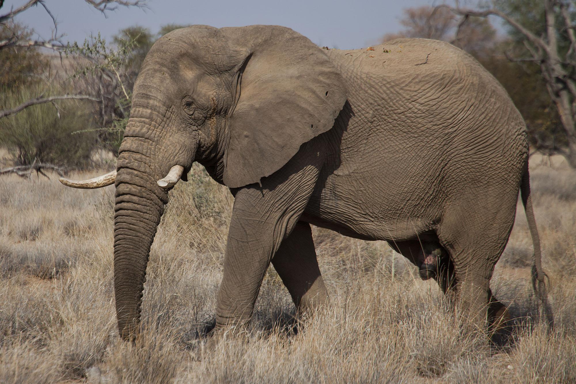 Old Bull Elephant