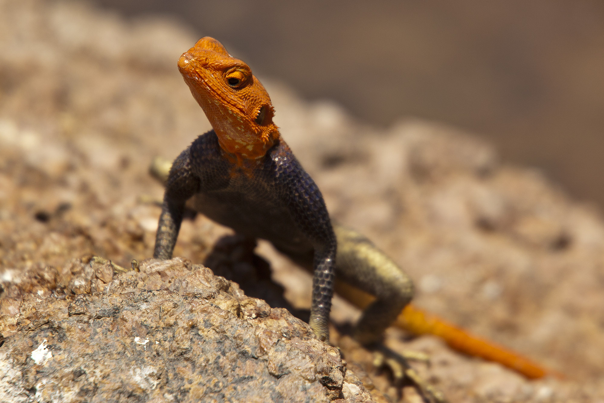 Male Red-headed Rock Agama