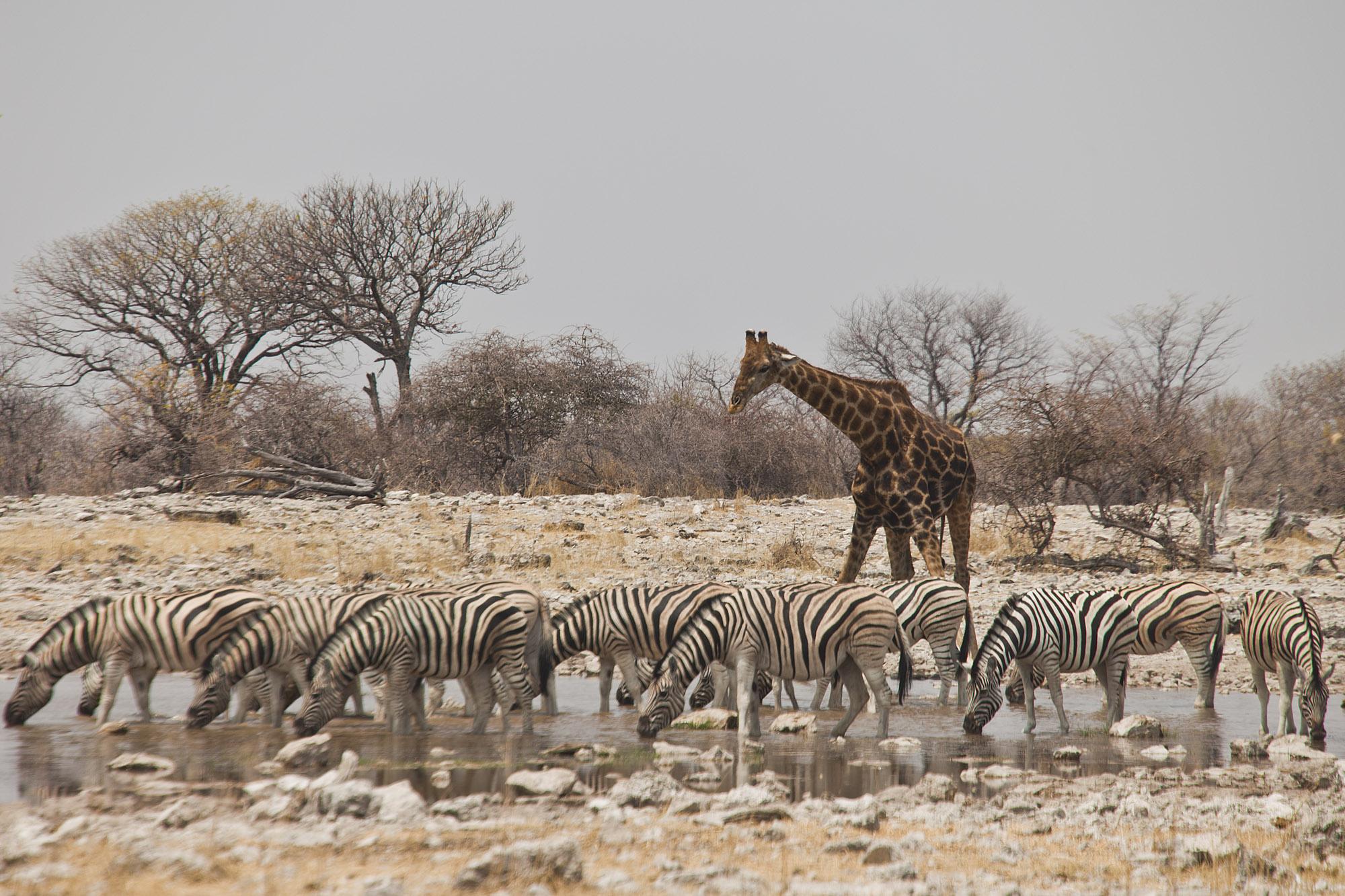 Zebras and a Giraffe