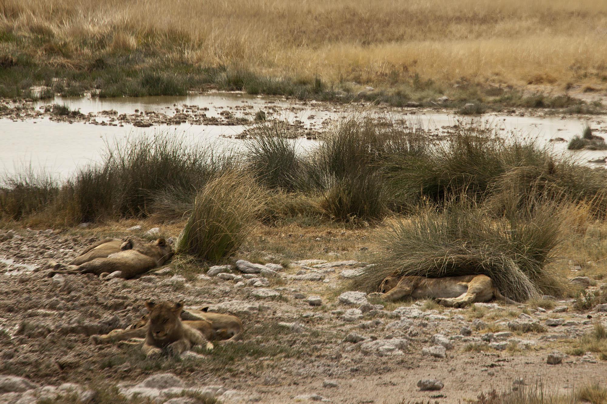 Lions sleeping near the waterhole