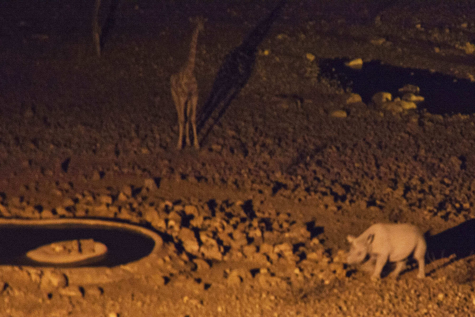 Rhino and Giraffe by the waterhole at night