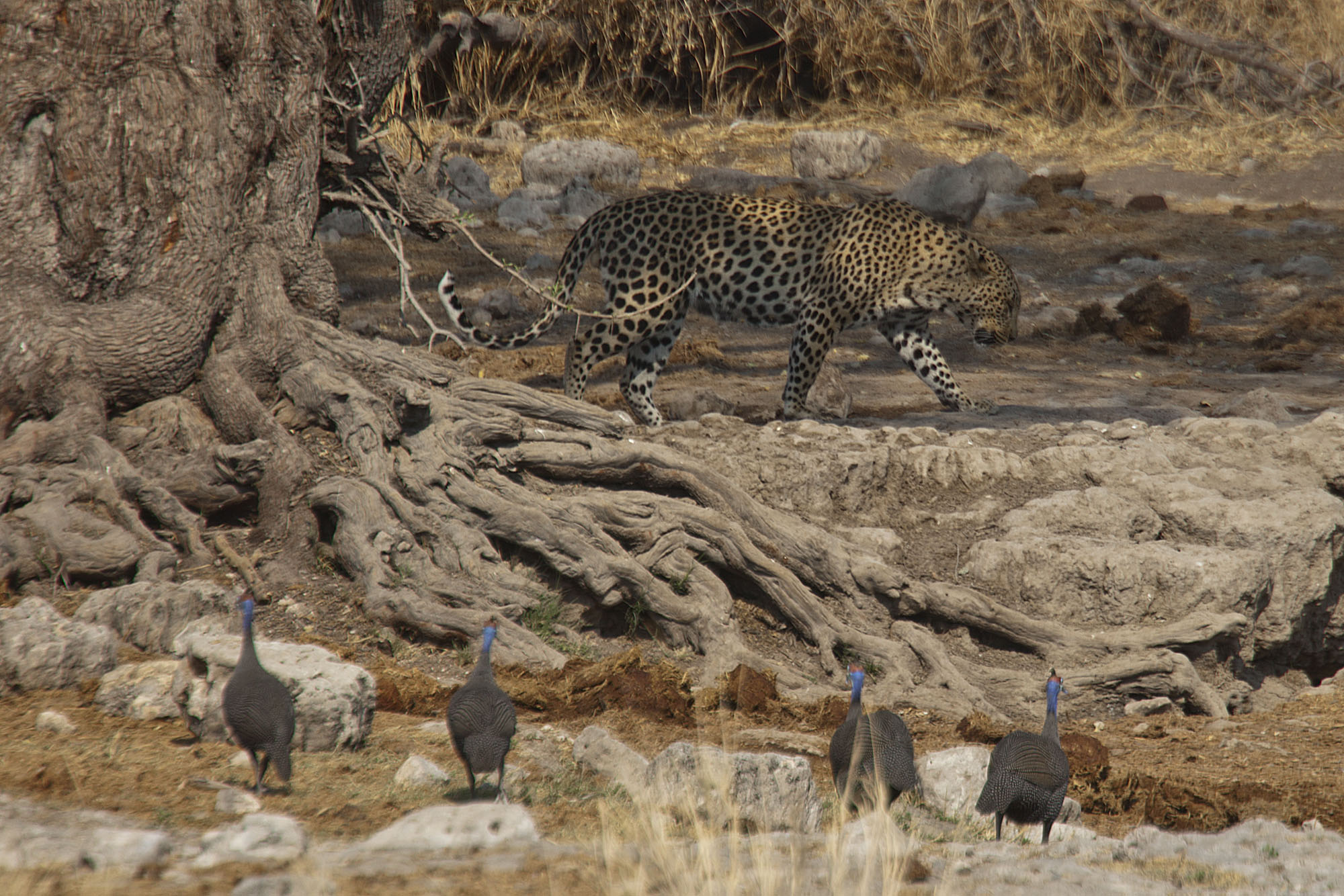 Leopard approaching the waterhole