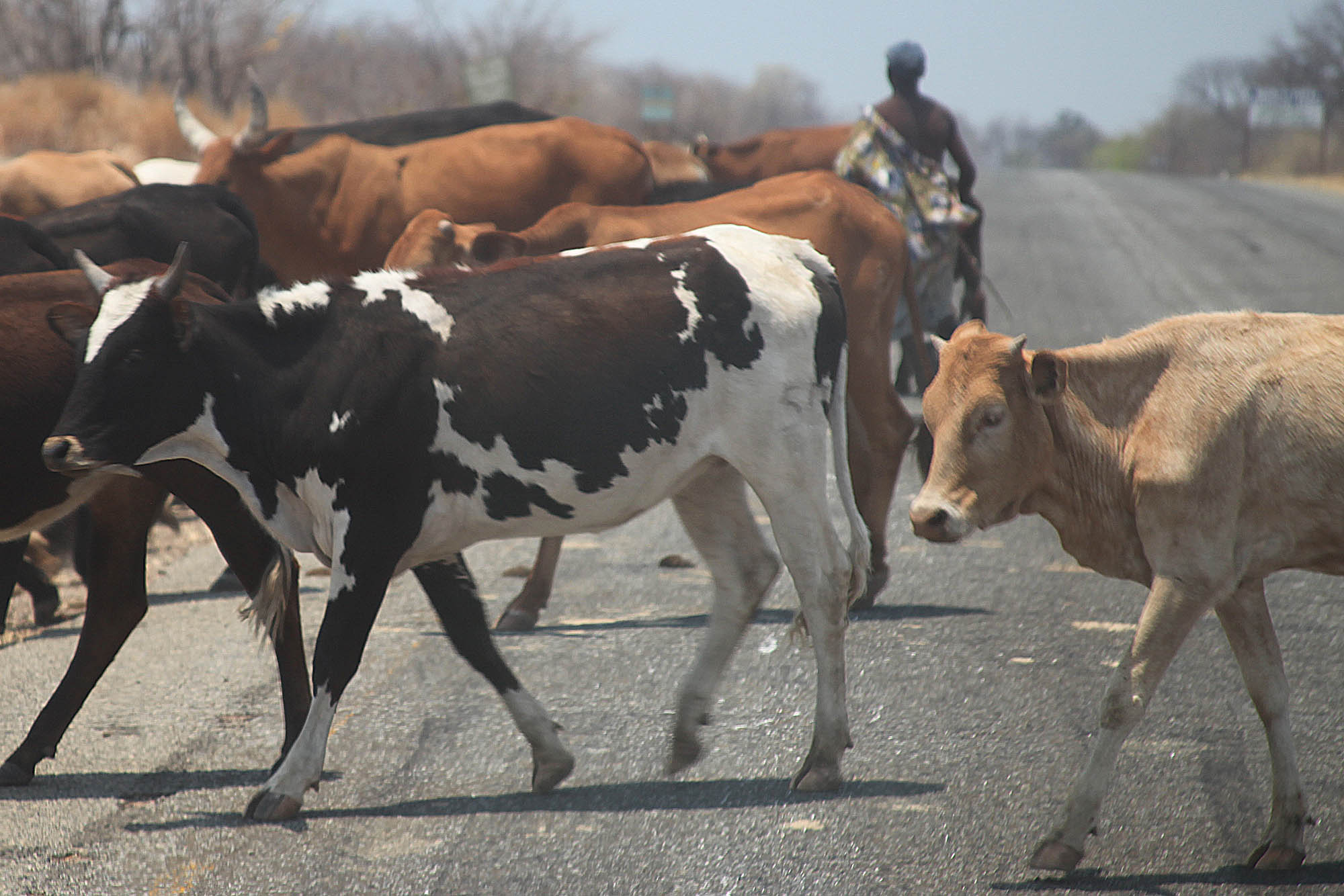 Herding the cows on the road to Victoria Falls