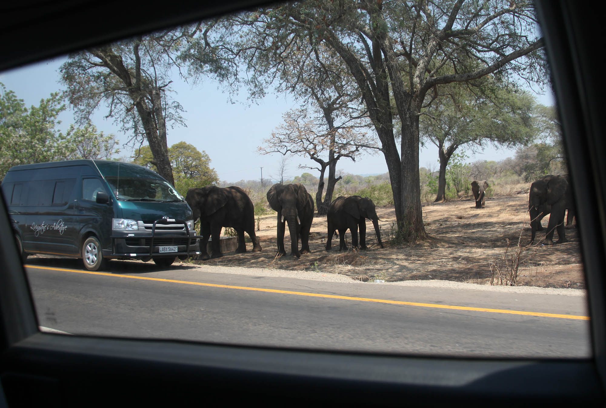 A small herd of Elephants heading for the road
