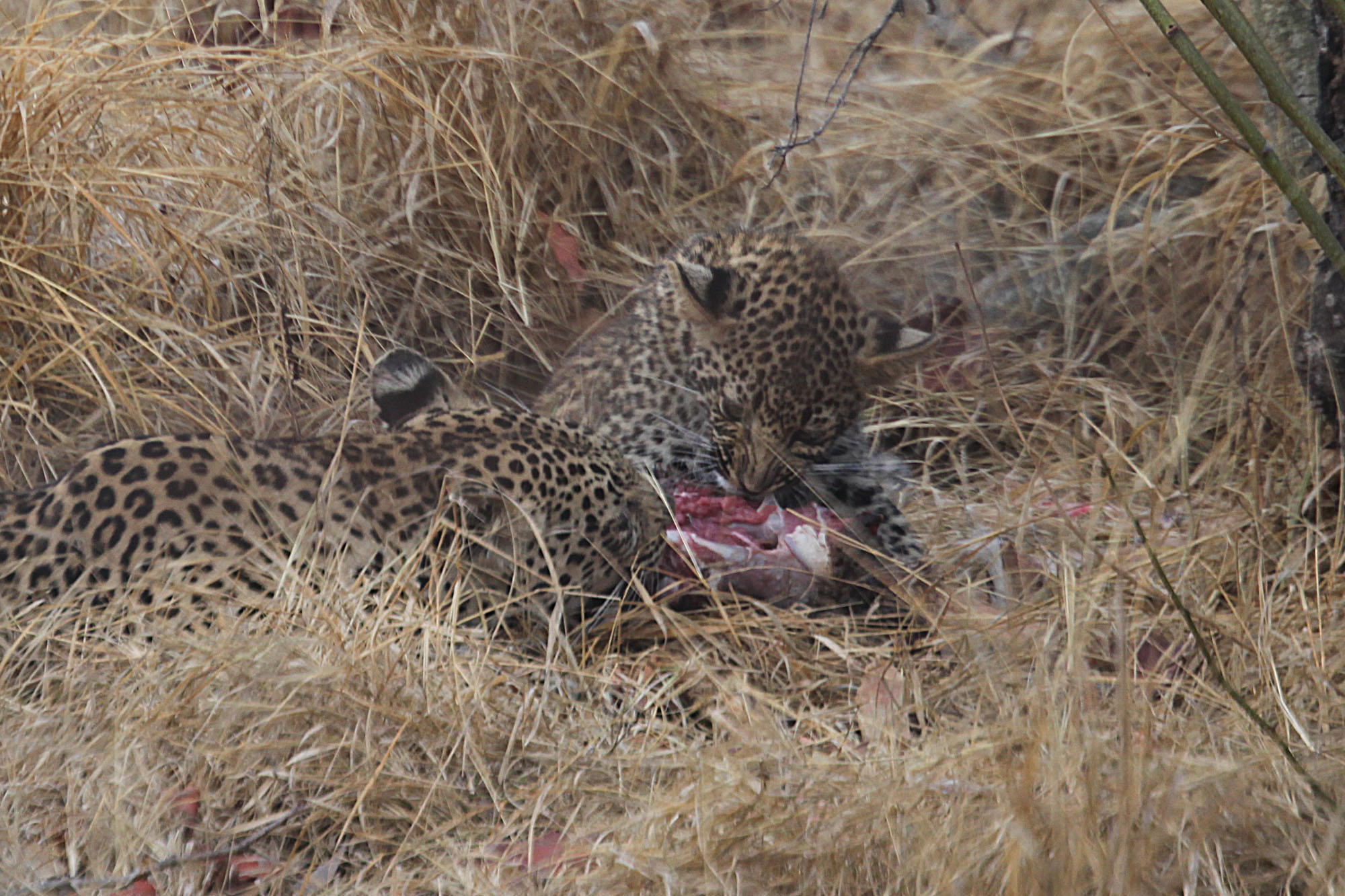 Leopard and cub with kill
