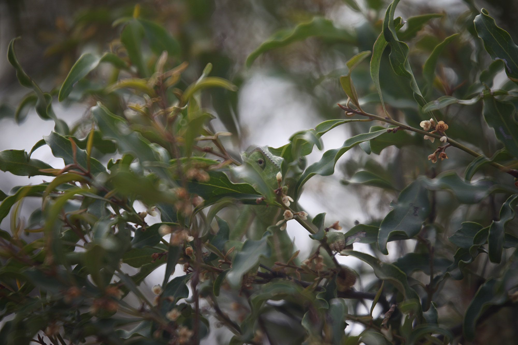Chameleon .. can you see him?