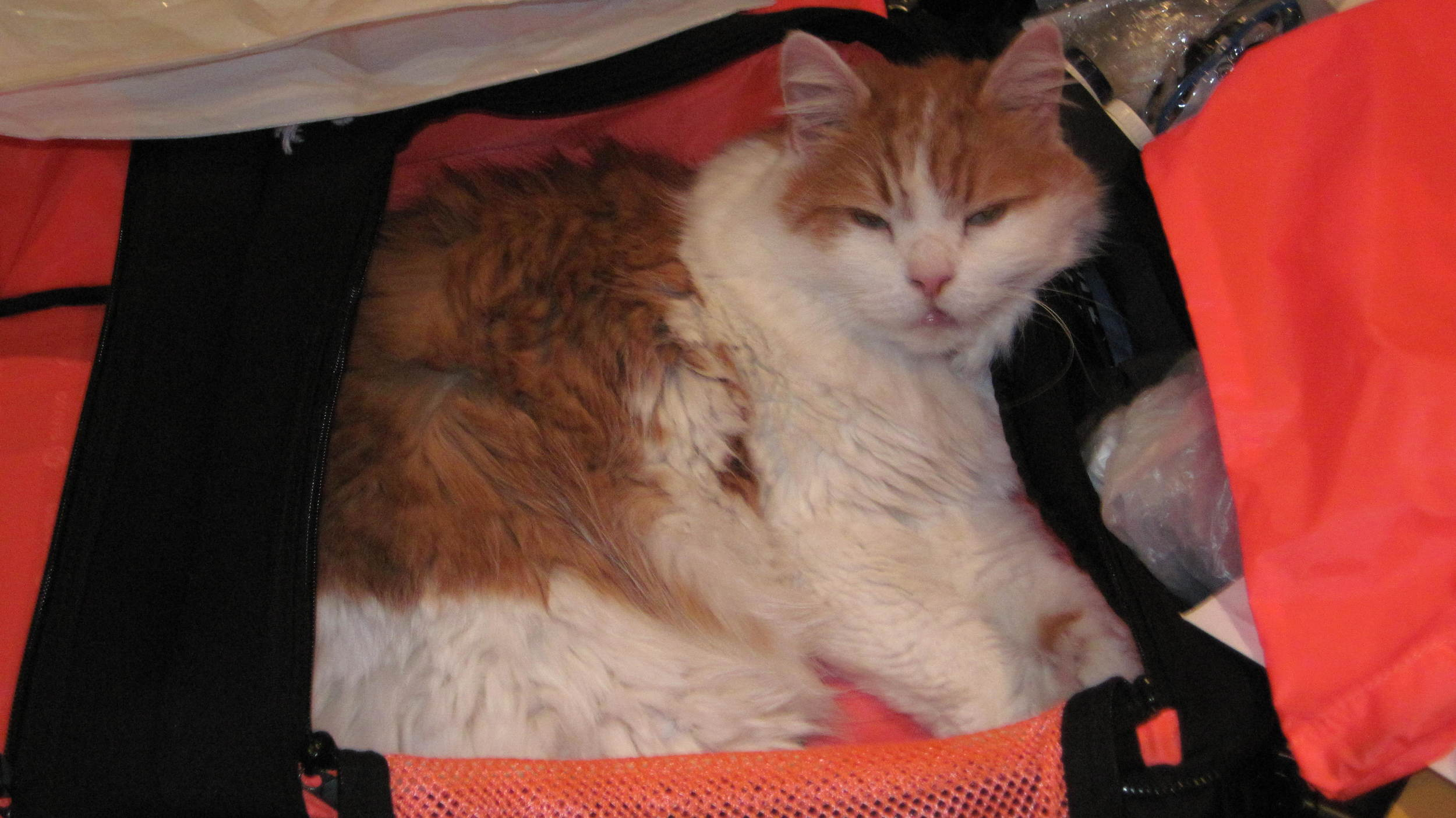 Sneaking into the suitcase we were packing. Assumed he would be joining us.