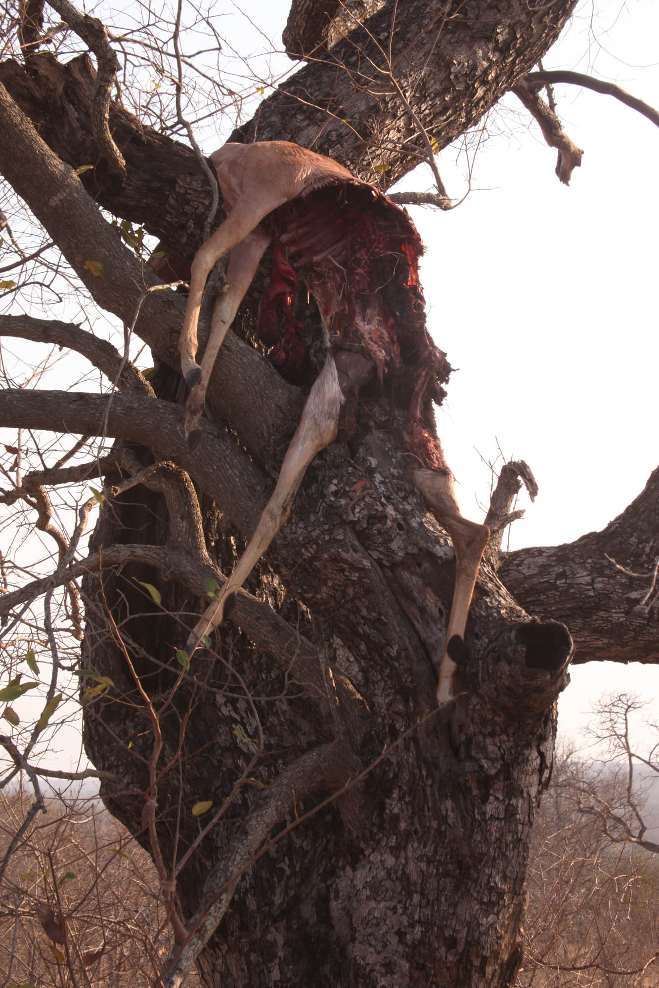 Carcass in a tree