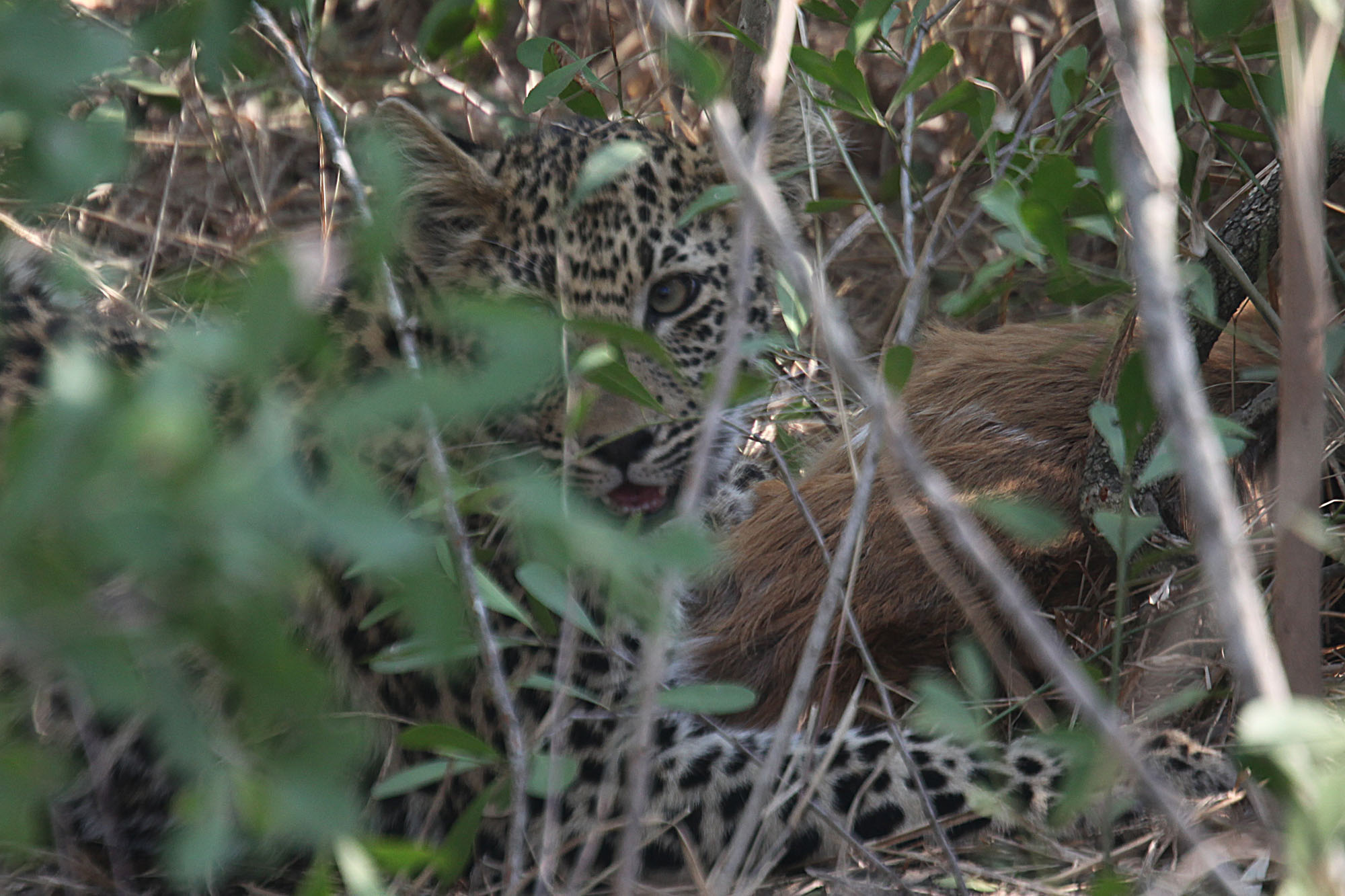 Cub with prey