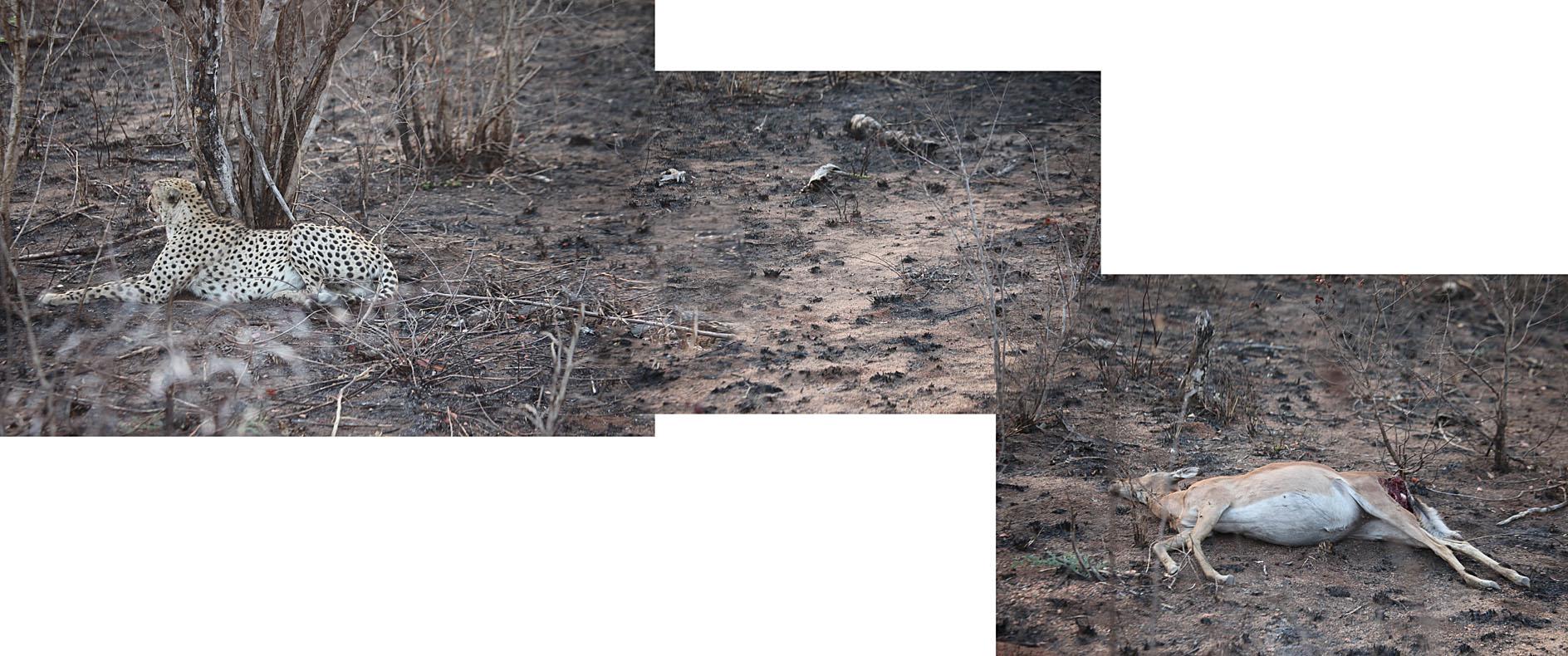 Cheetah and prey