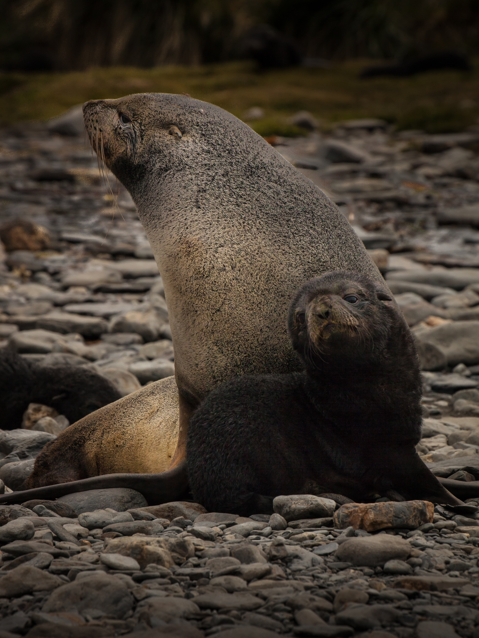 Fur Seal and baby
