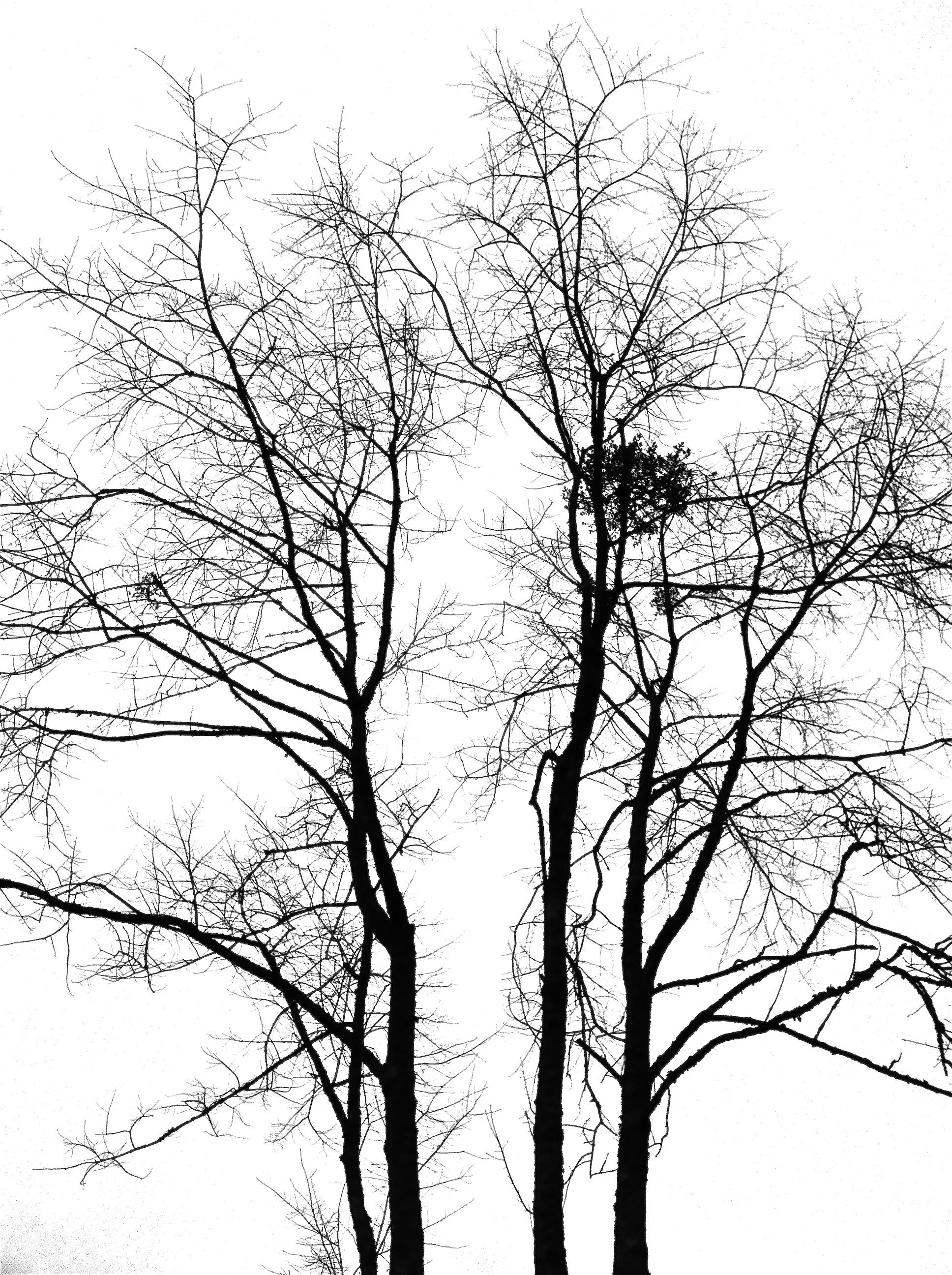 Mistletoe in Barren Tree.jpg