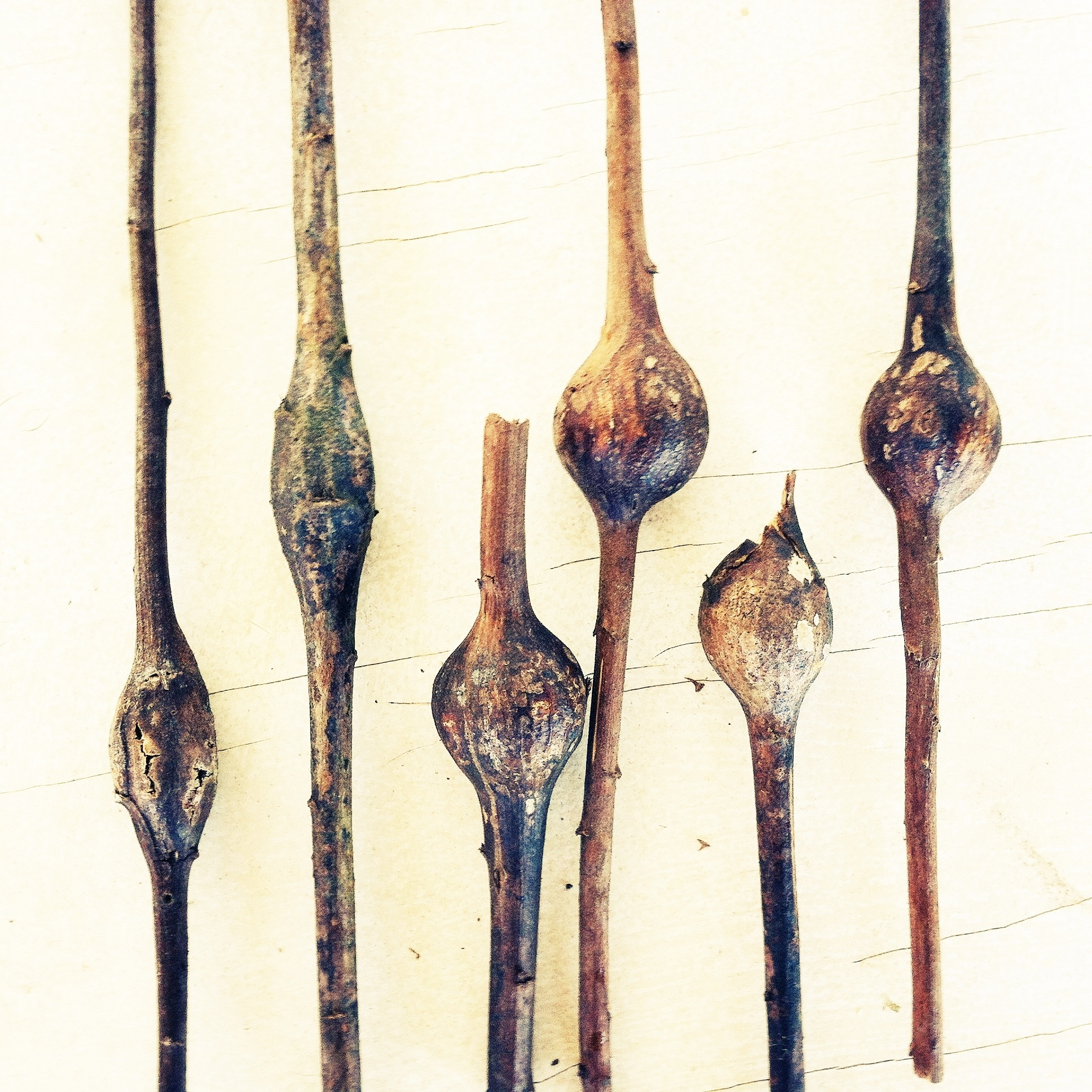 Left to Right: two elliptical goldenrod moth galls; four spherical goldenrod fly galls.