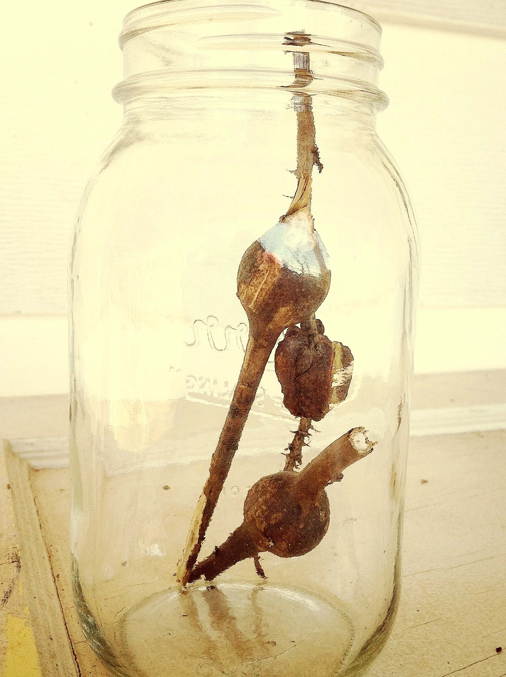 Goldenrod fly galls and blackberry knot galls in a jar.