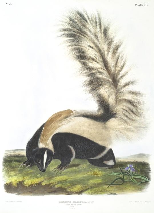 Vintage Skunk Illustration.jpg