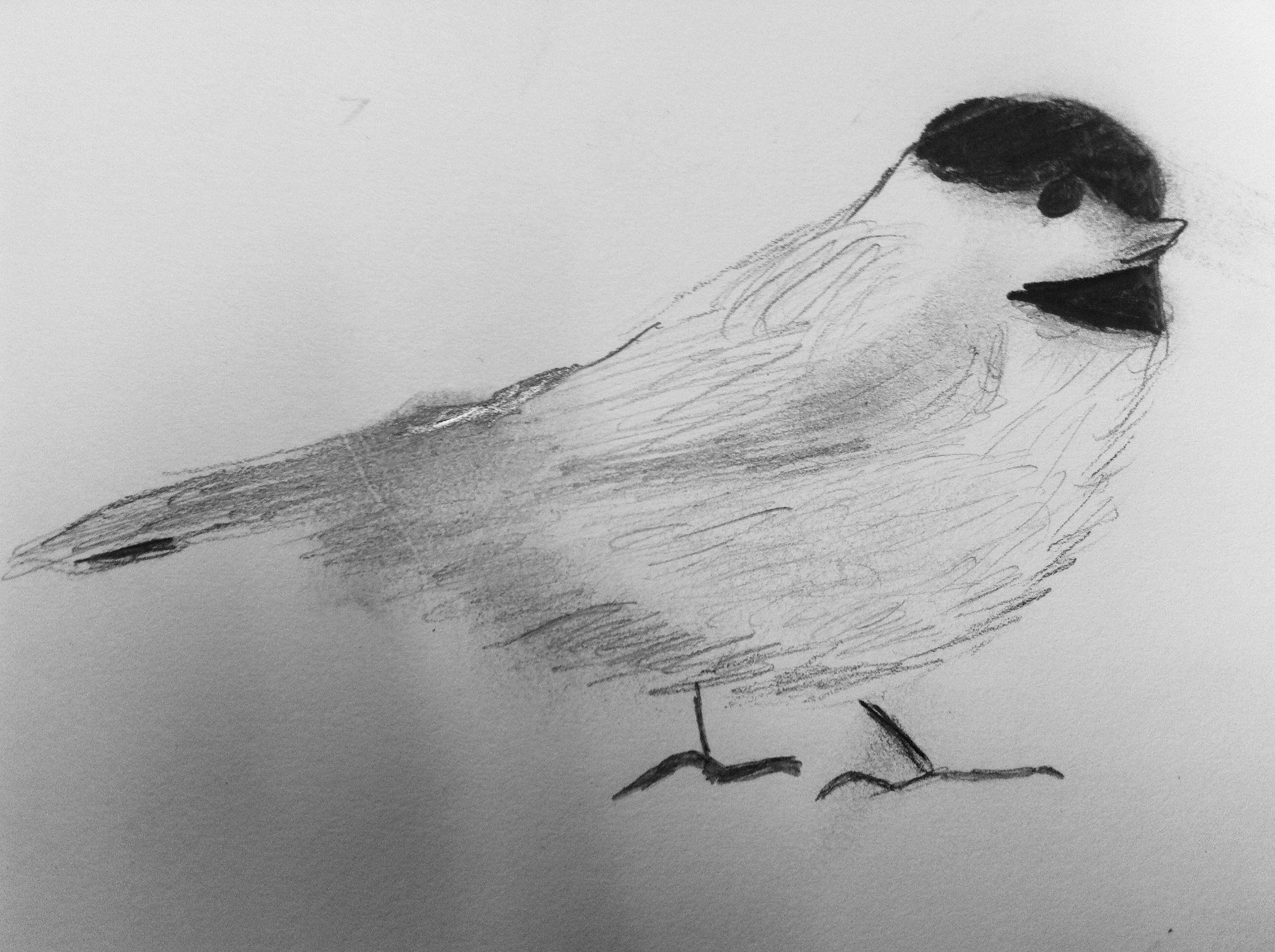 King's sketch of the Carolina chickadee.