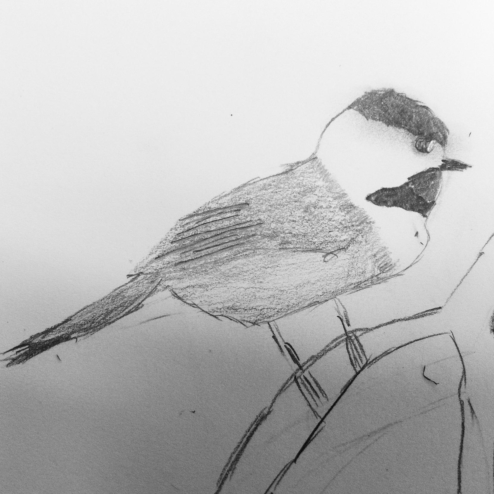 Mike's sketch of the Carolina chickadee.