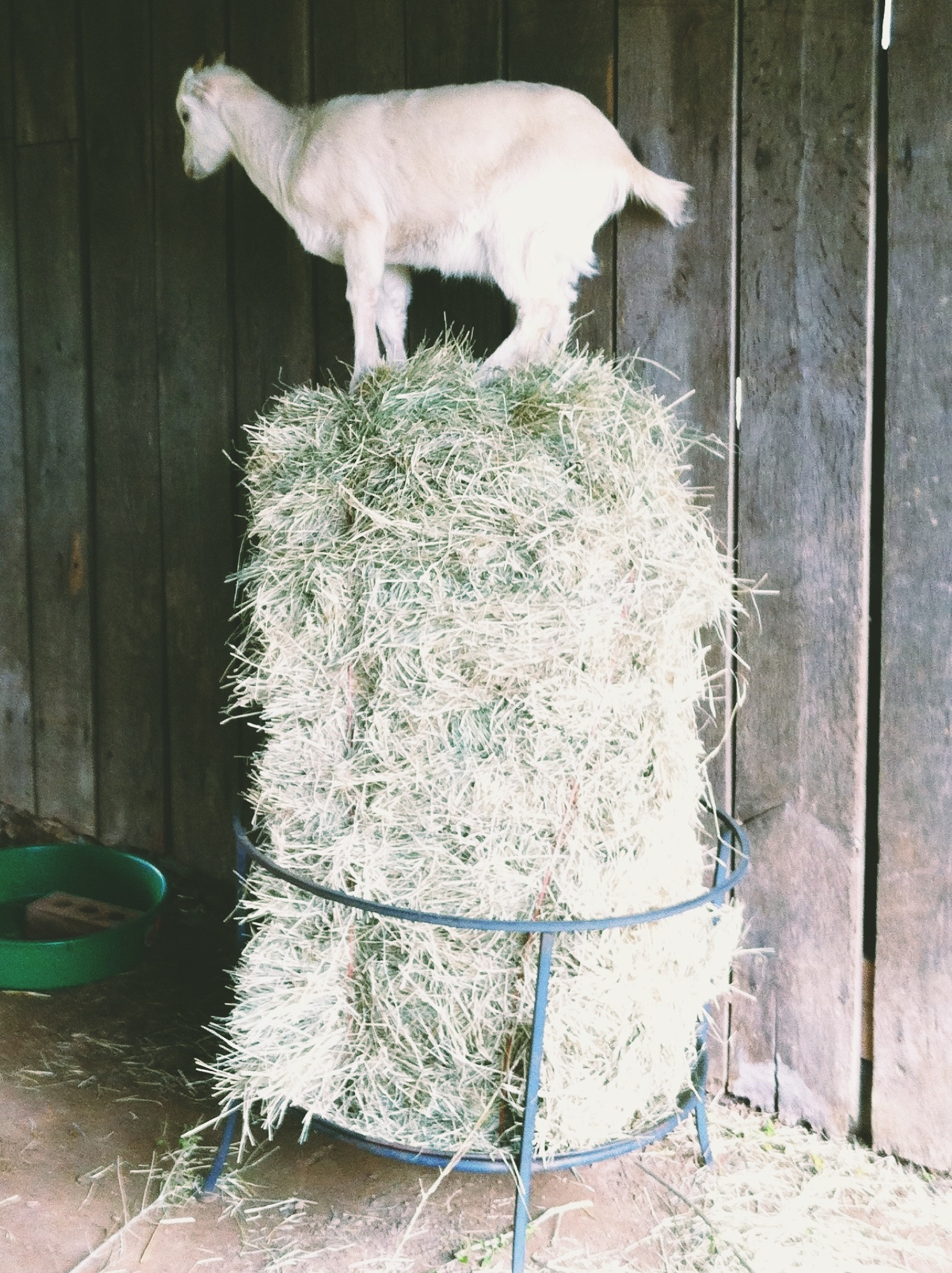 Chiminea fire pit base turned hay bale and goat perch holder.