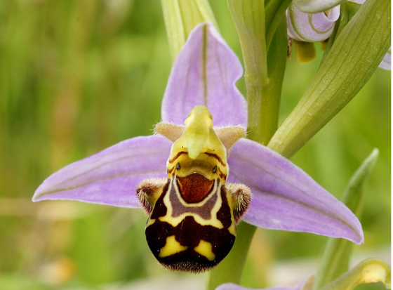 cute overload happy Ollie Orchid.png