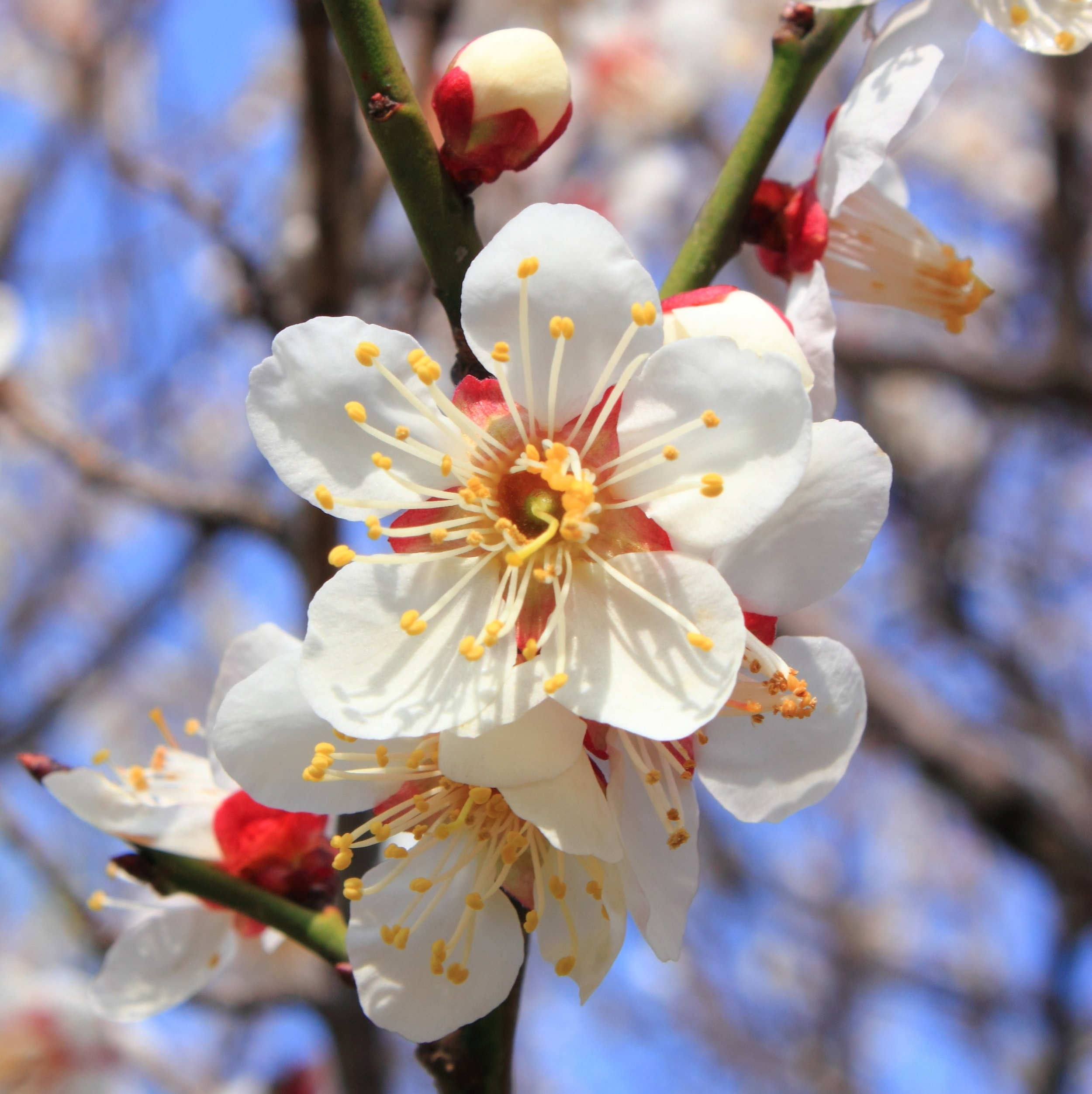 Plum blossom. By Kakidai (Own work) [CC BY-SA 3.0 (https://creativecommons.org/licenses/by-sa/3.0)], via Wikimedia Commons