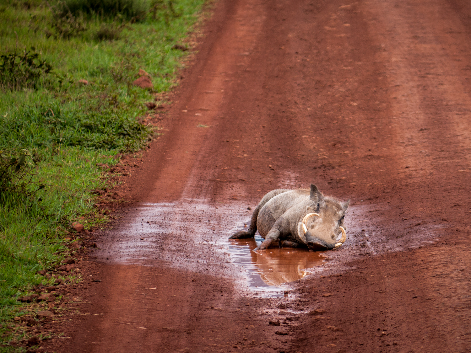 Warthog in Mud Puddle