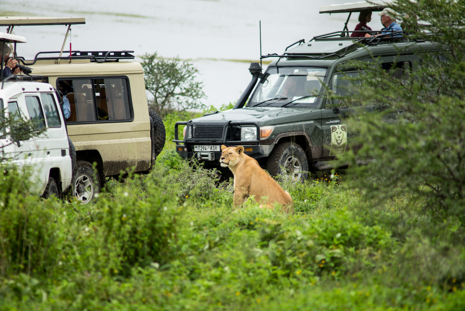 Lion and Jeeps