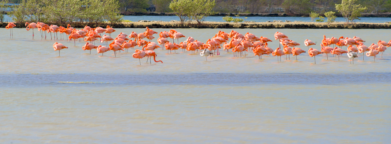 Flamingos, Sint Willibrordus