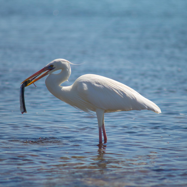Egret Eating Fish, Biscayne National Park