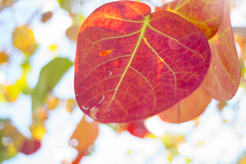 Leaf, Key Largo