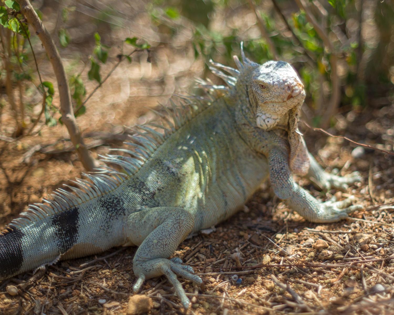 Iguana, Christoffelpark