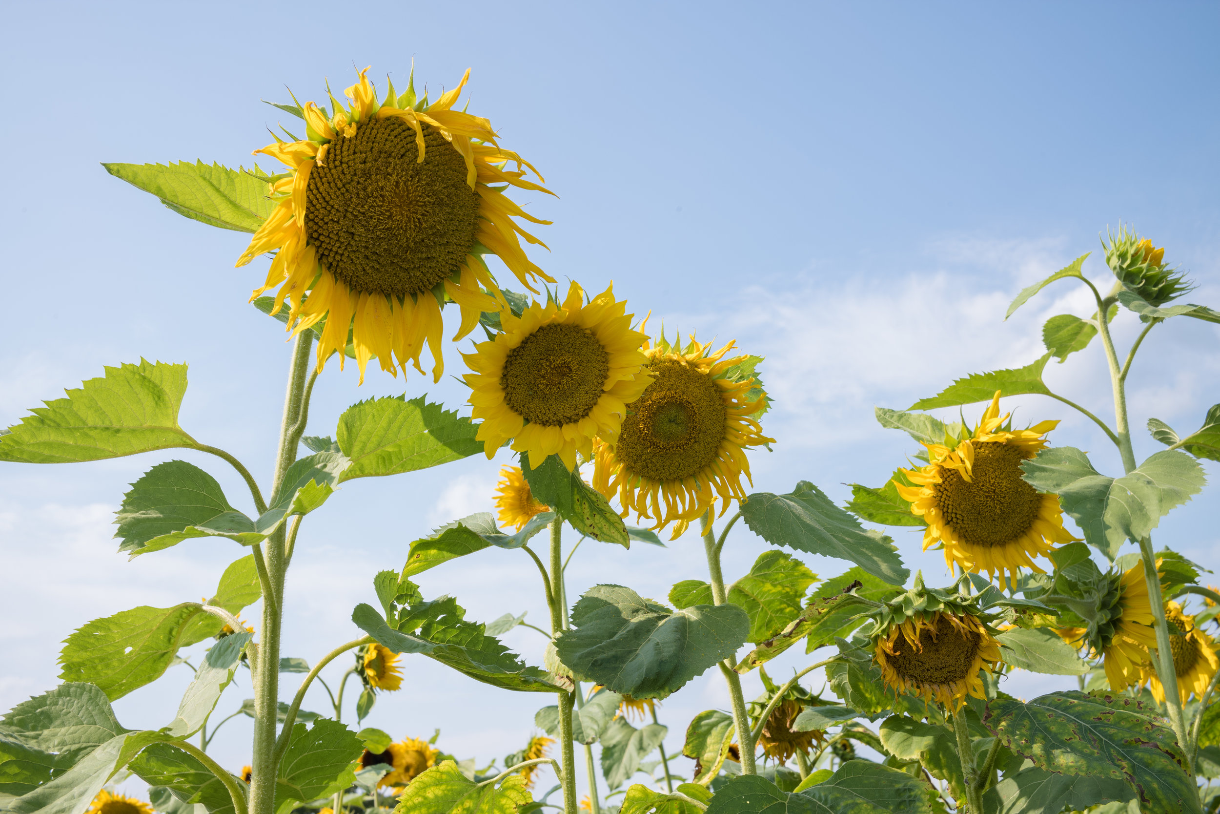 Sunflowers: Sunflowers are a popular symbol of Sonneberg (which translates to Sun Mountain)