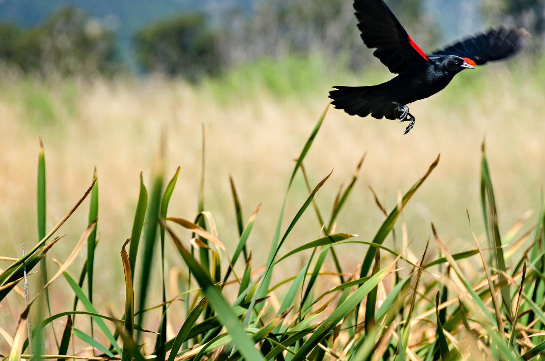 Red-Winged Blackbird | Mark Lindsay