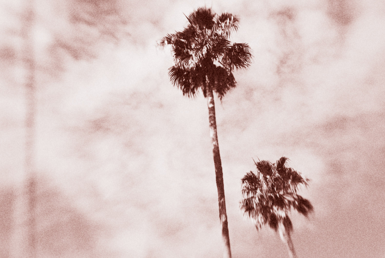Larkspur Palms #4 | Mark Lindsay