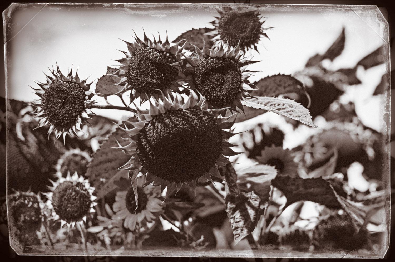 Lost Sunflowers   Mark Lindsay