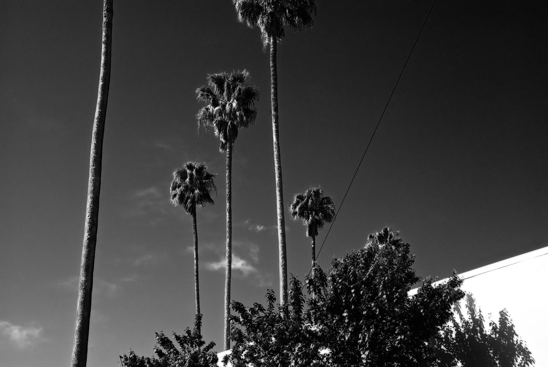 Larkspur Palms #3   Mark Lindsay