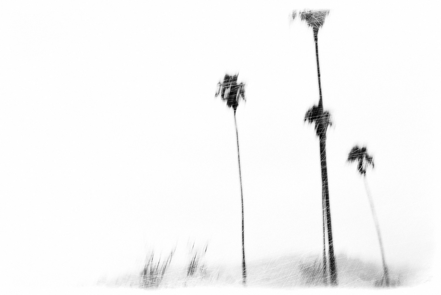 Larkspur Palms #2 | Mark Lindsay