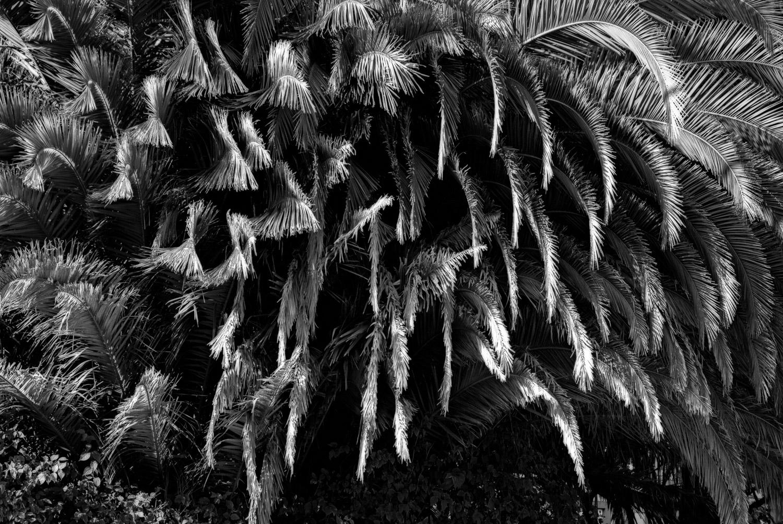 Palm Fronds, Tamalpais Drive | Mark Lindsay